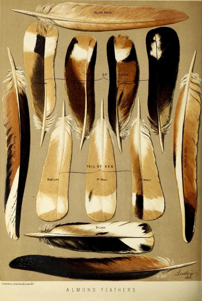 Ilustração penas de pombos do livro ilustrado dos pombos