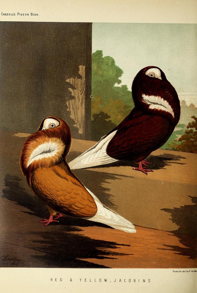 Ilustração pombos do livro ilustrado dos pombos