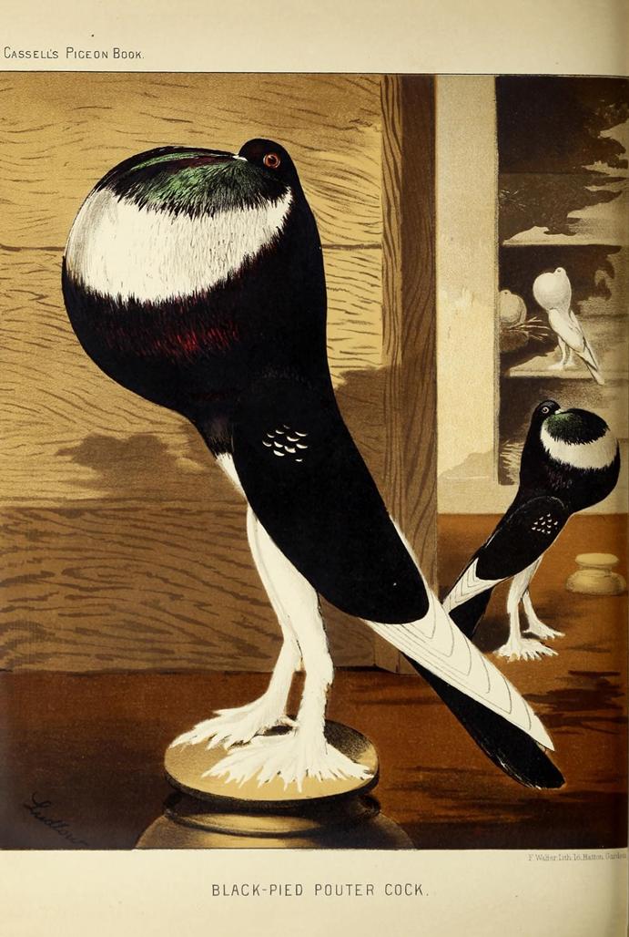 Ilustração pombo do livro ilustrado dos pombos