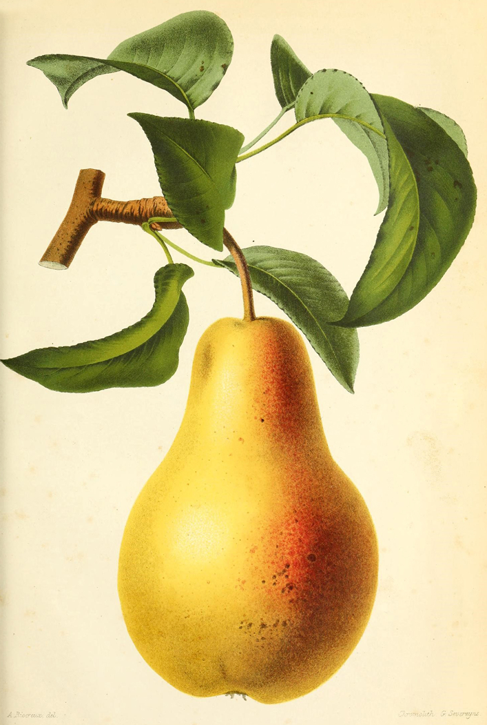 Ilustração de Pera da revista de agricultura prática
