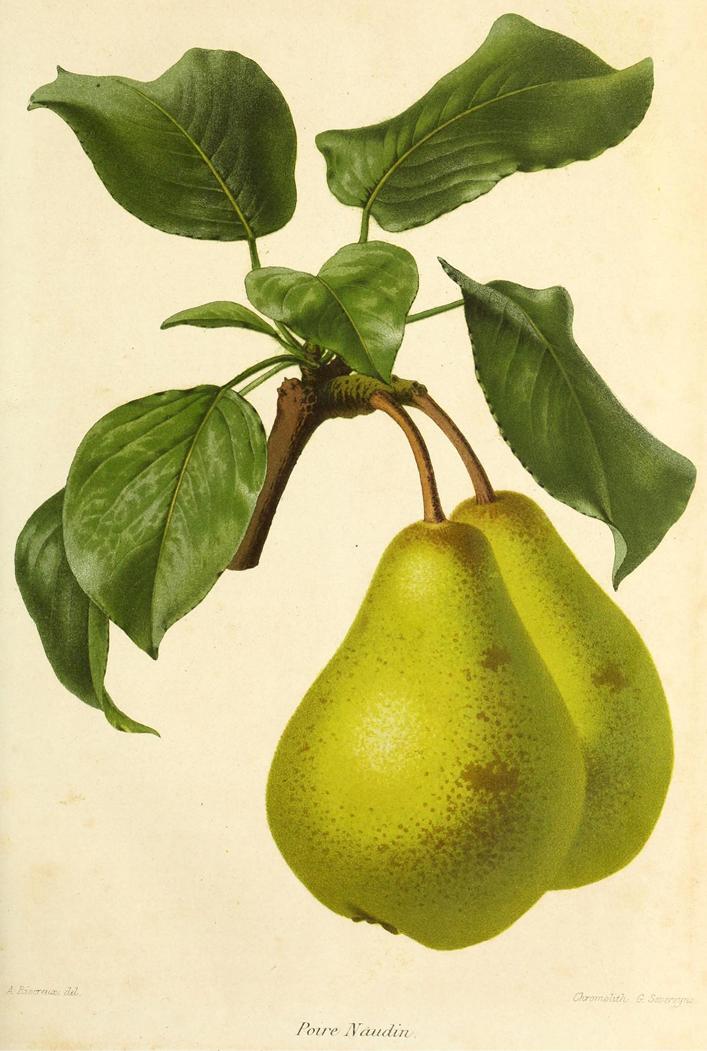 Ilustração de Peras da revista de agricultura prática