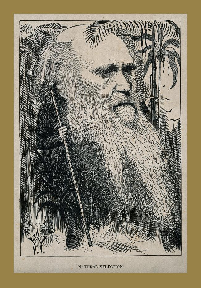 Caricatura de Darwin em uma floresta. Em escala monocromática cinza, ele está de meio perfil para a direita. Compenetrado, Darwin têm as sobrancelhas espessas e nariz largo. A cabeça calva ocupa 1/3 da folha de papel e a longa barba, os 2/3 restantes. Os cabelos laterais se juntam à barba esvoaçante e se fundem à vegetação que o cerca e escondem a ponta de um cajado. Com a mão direita, Darwin o segura pelo meio. Com a esquerda, o tronco de uma palmeira. Ao fundo, à direita, quatro gaivotas. No canto inferior esquerdo, as iniciais estilizadas F.W. Abaixo, NATURE SELECTION