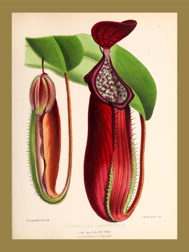 Ilustração da planta Nepenthes Sanguinea