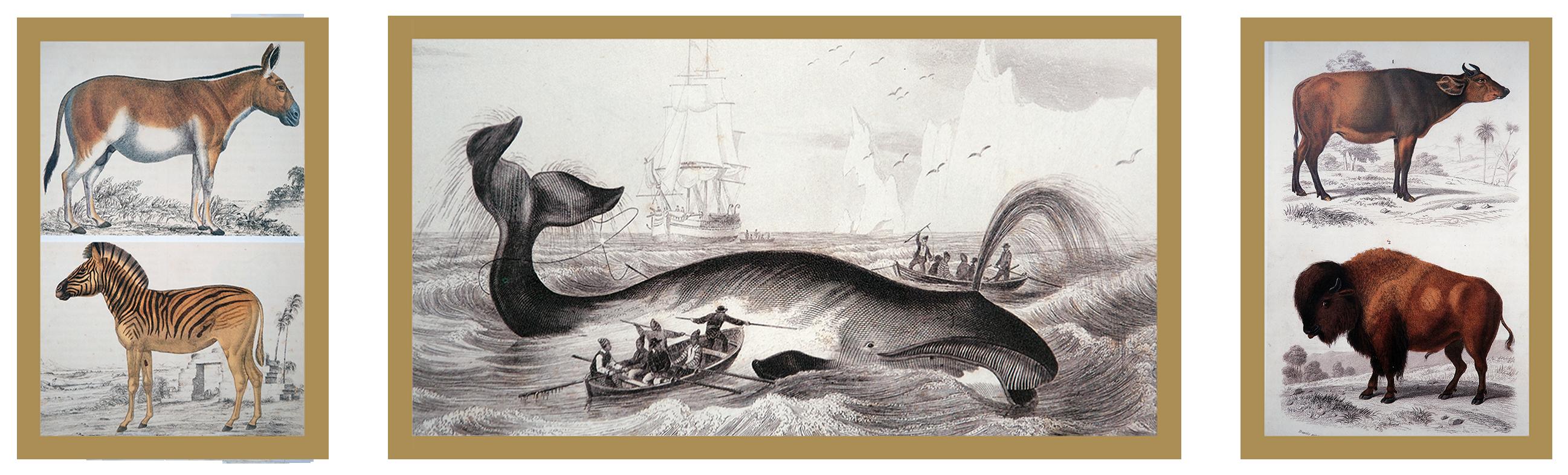 3 Ilustrações, da esquerda para direita: Asno ( burro selvagem) e zebra-da-planície. Baleia. Animal da raça bovina e gado Bisão